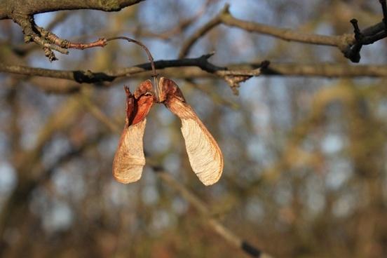 acer maple pseudoplatanus