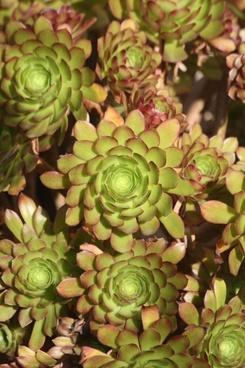 aeonium succulent cluster