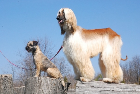 afghan border terrier dogs