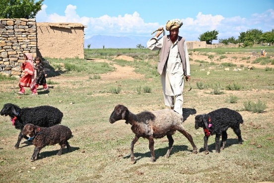 afghanistan man sheep