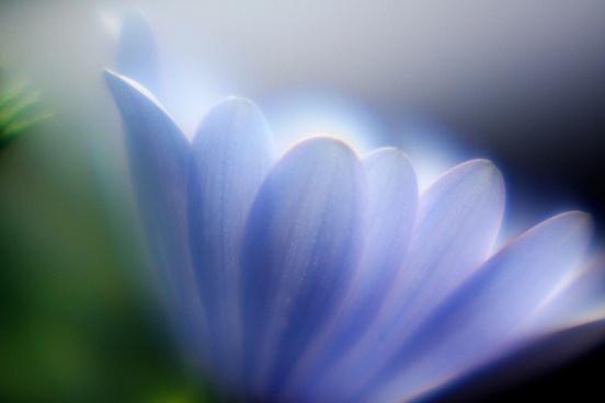 african daisy soft focus