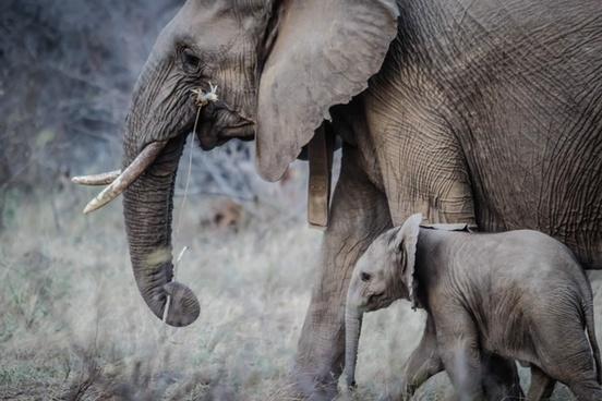 african elephant animal daytime elephant grass large