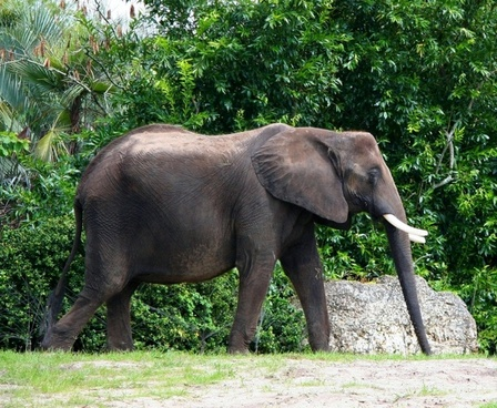 african elephant ivory tusk bull
