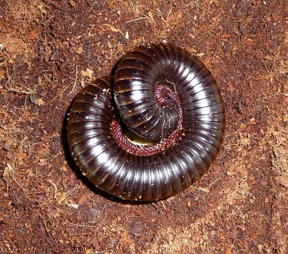 african millipede segments ground