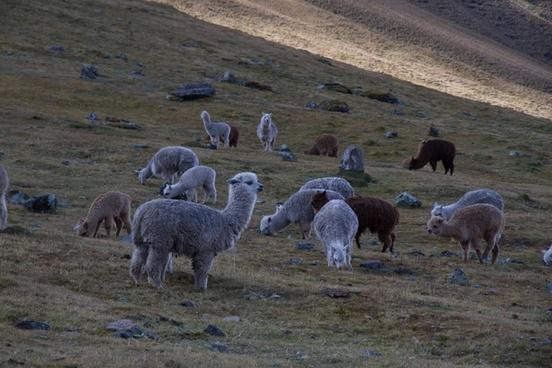 agriculture alpaca countryside daytime domestic farm