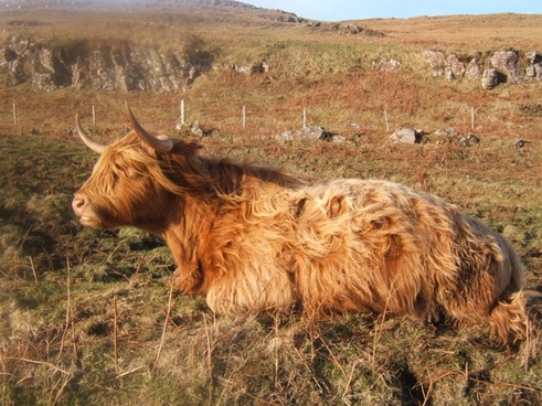 agriculture animal big cattle cow domestic farm