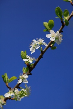agriculture apple bloom