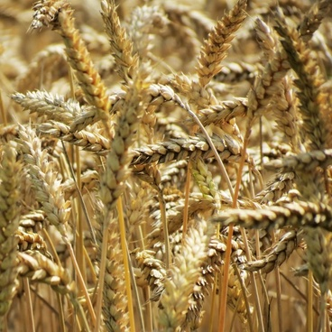 agriculture barley cereal corn countryside crop dry