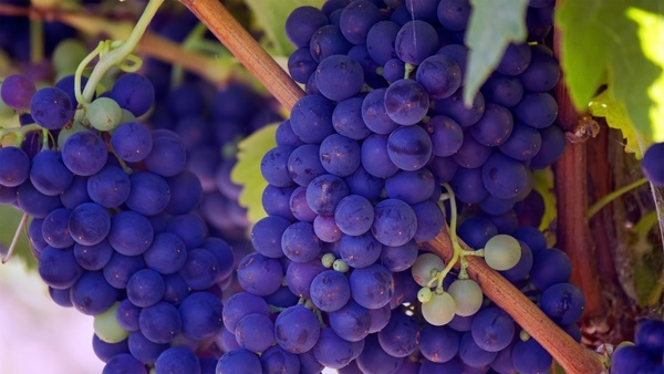 agriculture berry bunch cluster food fruit grape
