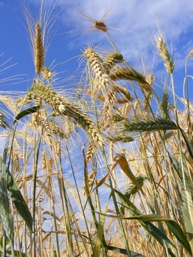agriculture bread cereals