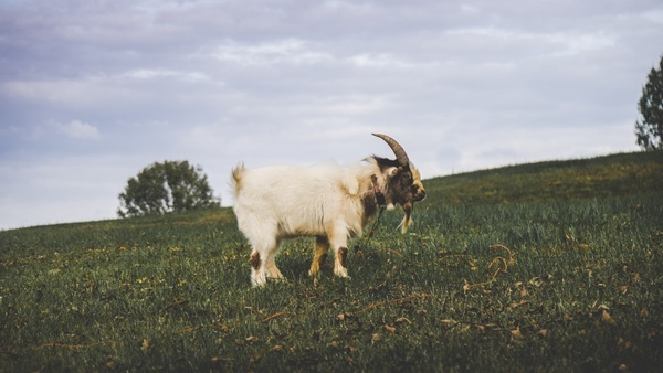 agriculture cattle countryside farm field goat grass