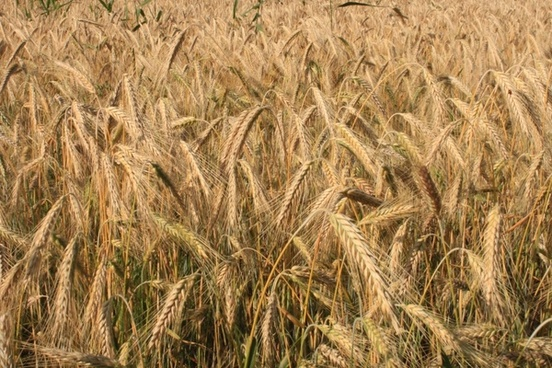 agriculture cereals curved