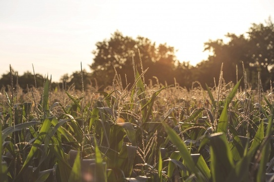 agriculture corn country crop environment farm field