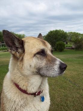 akita dog profile