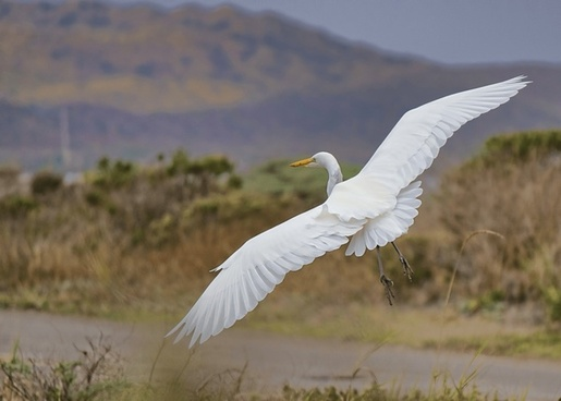 alba animal avian bird crane egret fauna feather
