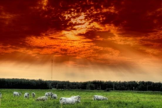 alberta canada cattle