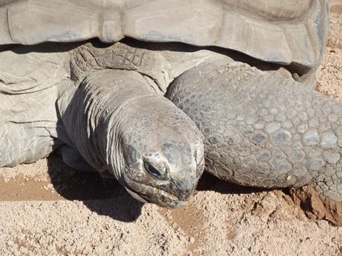 aldabran tortoise up close
