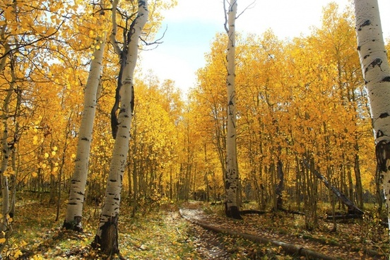 alley autumn birch countryside fall foliage forest