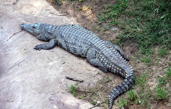 alligator down lying