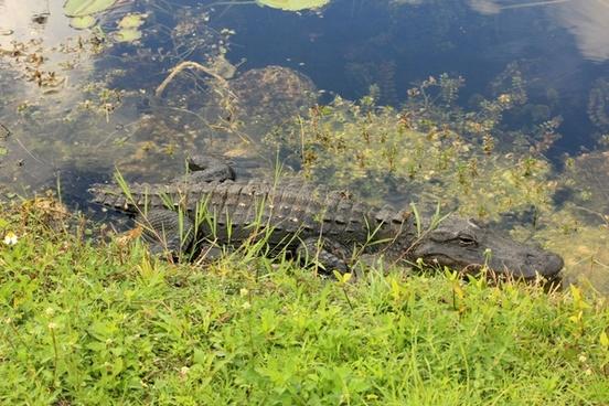 alligator sunbathing at everglades national park florida