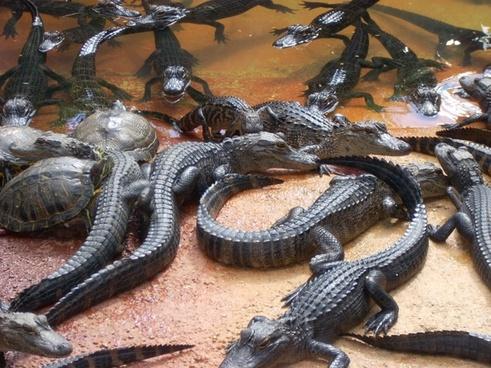 alligators swamp everglades