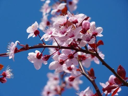 almond blossom cherry blossom japanese cherry trees