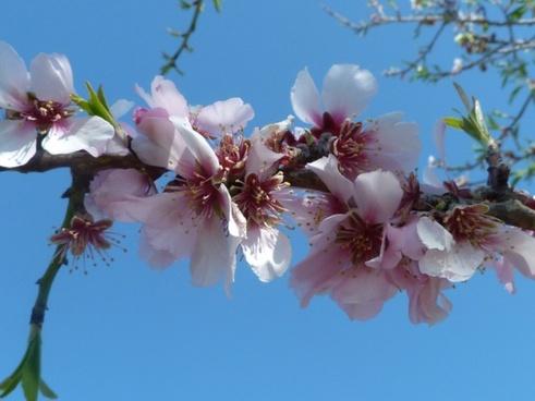 almond blossom spring flowers