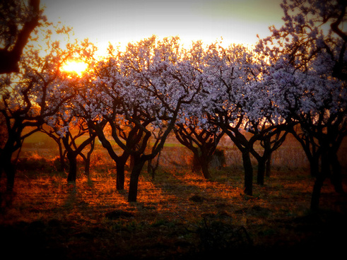 almond trees in sunset