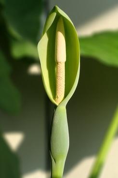 alocasia macrorrhizoz plant blossom