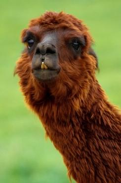 alpaca animal bizarre