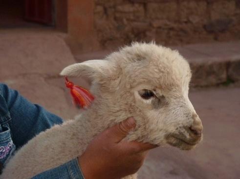 alpaca animal lama