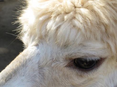 alpaca close up
