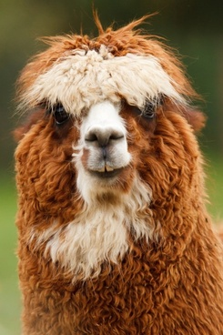 alpaca looking