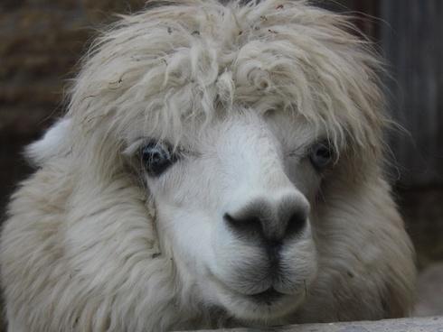 alpaca sheep mammal