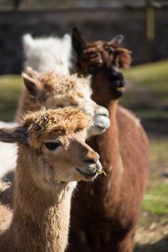 alpaca standing in line