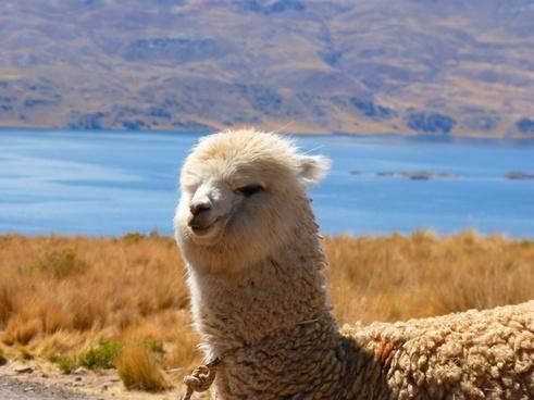 alpaca vicugna pacos animal