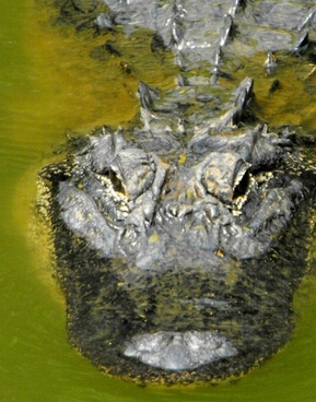 american gator 2