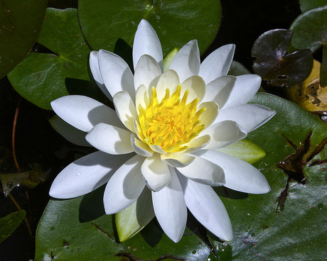 american white water lily 01