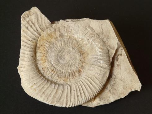 ammonit petrification snail