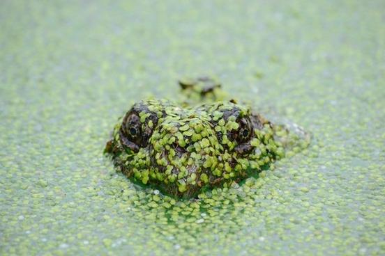 amphibian animal camouflage closeup crocodile