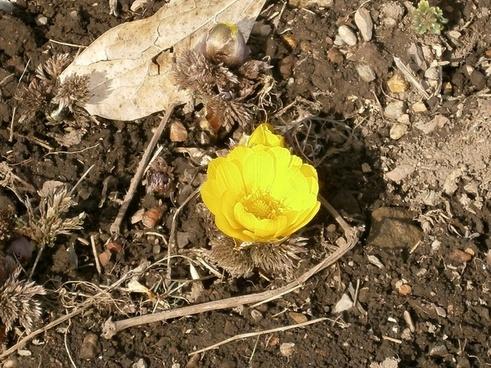 amur adonis far east amur adonis flowers