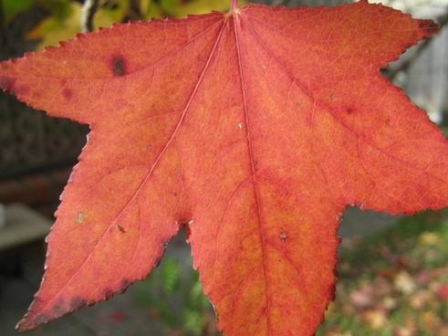 an orange maple leaf