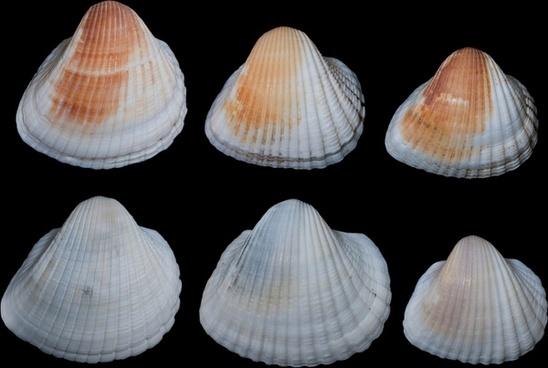 anadara brailiana shells seashells