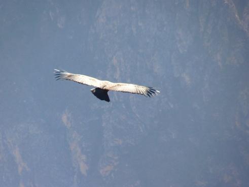 andean condor vultur gryphus bird