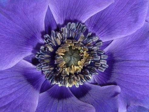 anemone de caen macro photography close up  stamens