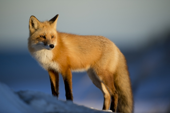 beautiful yellow wild fox