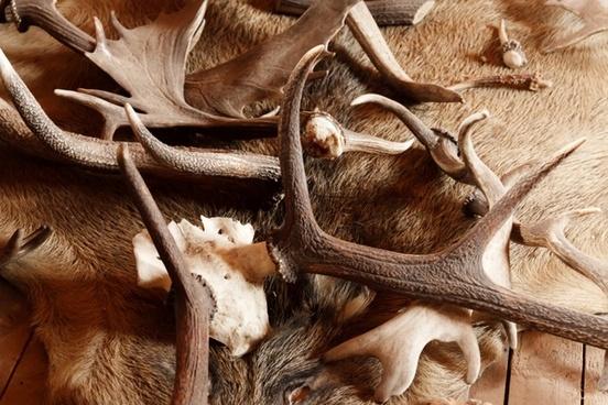 animal antler antlers