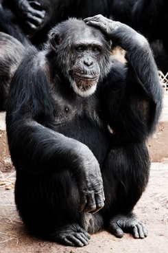 animal ape black