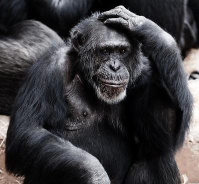 animal ape black