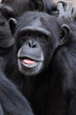 animal ape chimp